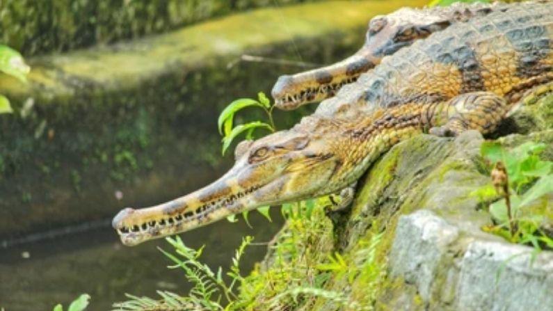 ફોલ્સ ઘડિયાલ/મગર  (false alligator) જેને સેન્યુલોંગ (Senyulong)ના નામથી પણ ઓળખવામાં આવે છે. જે દ્વીપકલ્પ મલેશિયા, બોર્નીયો, સુમાત્રા અને જાવામાં જોવા મળે છે.
