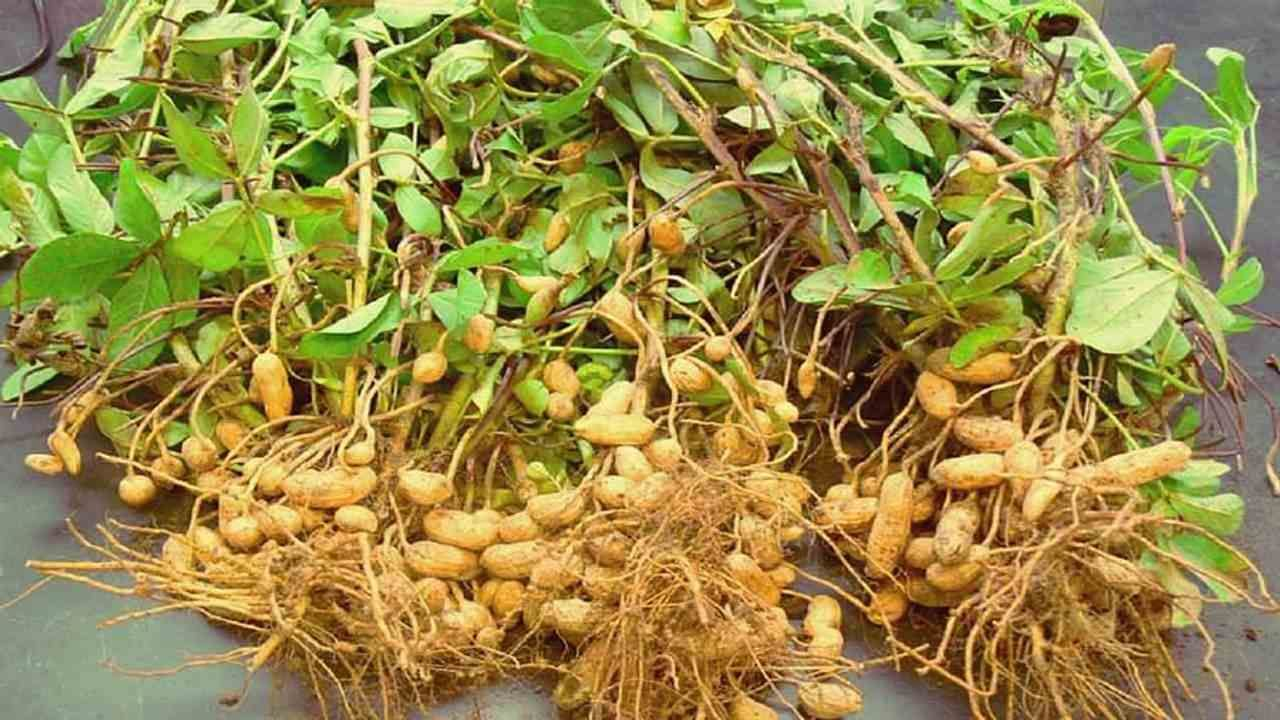 Record breaking production of groundnut in Gujarat this year,